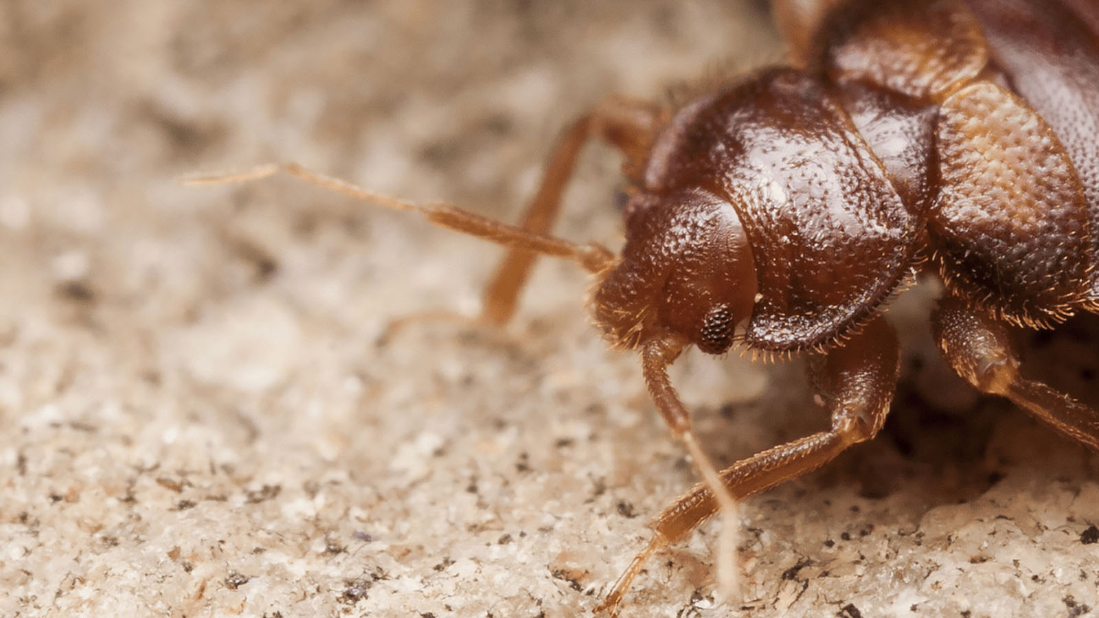 bed bugs frequently asked questions