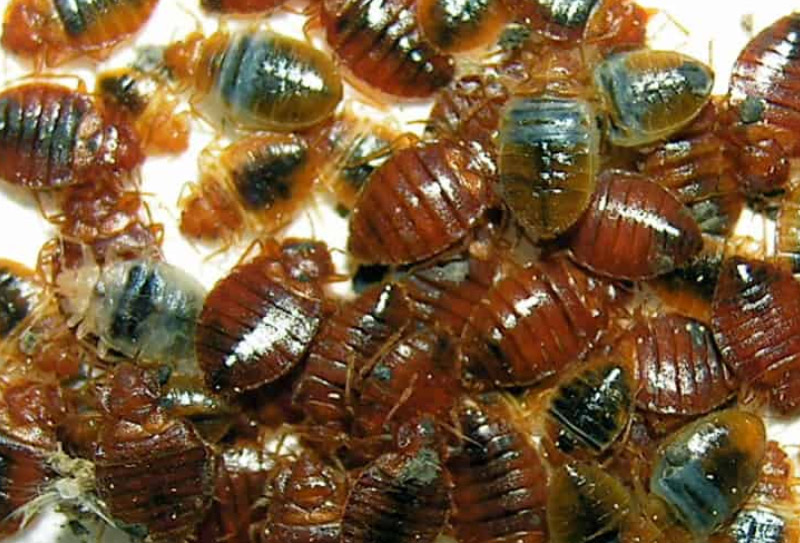 dorset gallery bed bugs in home